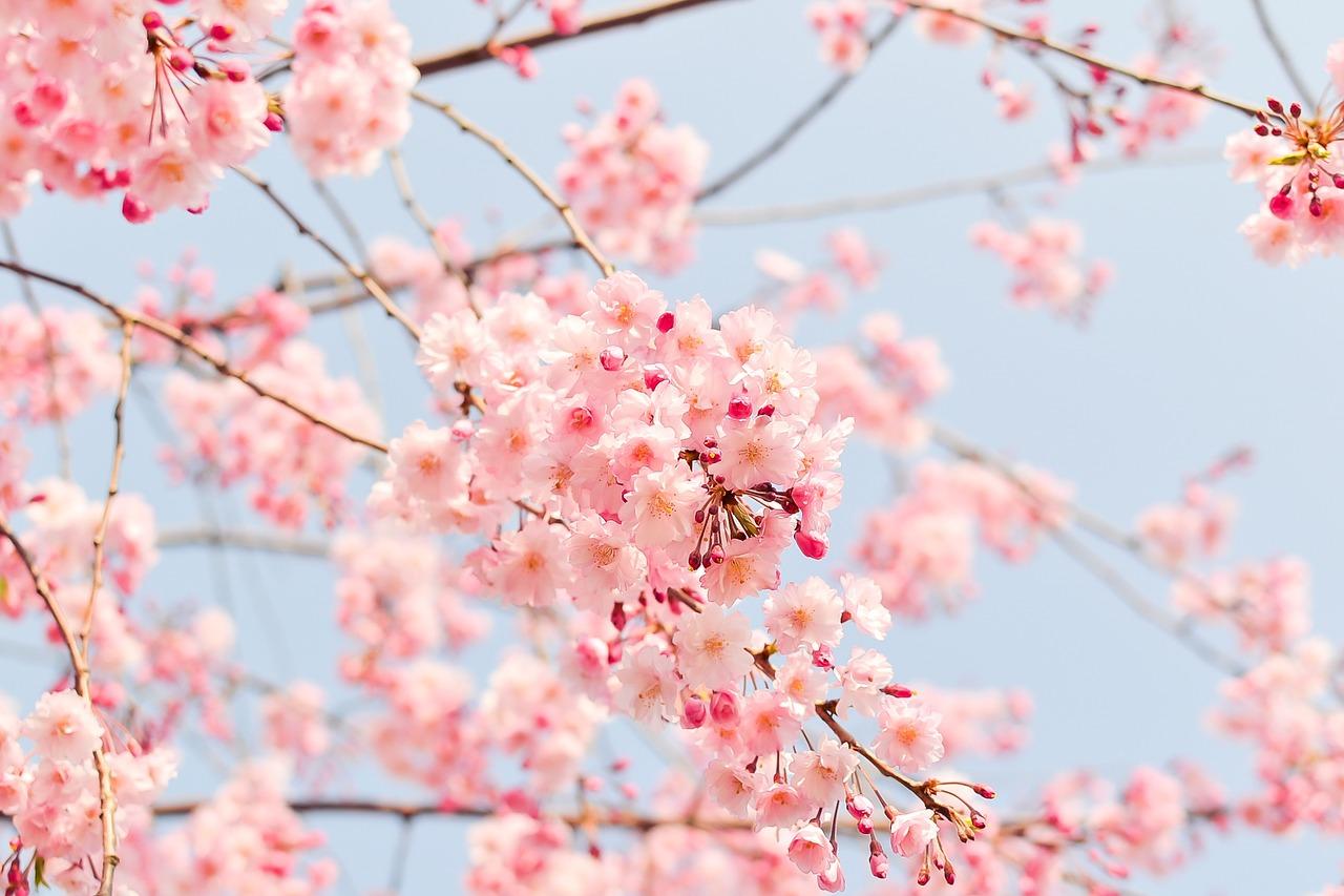 よい世の中なのか迷ったら【西行桜】