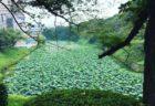 蓮の咲く千鳥ヶ淵を横に見てひと月前の八朔の日